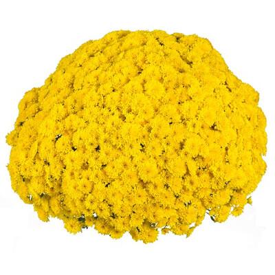 Mum Vitamum Party Yellow (9