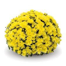 "Mum Belgian Aluga Yellow (9"" pot) $8.99"