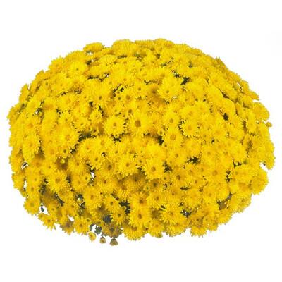 Mum Vitamum Cruise Yellow (9