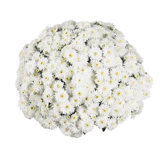 """Mum Vitamum Calm White (9"""" pot) $8.99"""