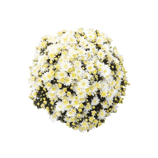 "Mum Vitamum Bliss White (9"" pot) $8.99"
