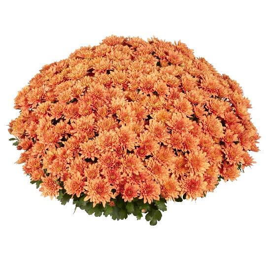 """Mum Homerun Orange (9"""" pot) $8.99"""