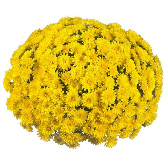 """Mum Vitamum Wonder Yellow (9"""" pot) $8.99"""