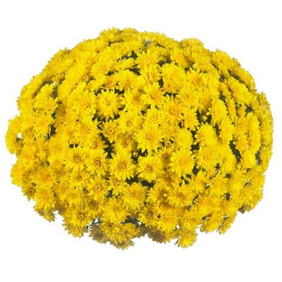Mum Vitamum Wonder Yellow (9