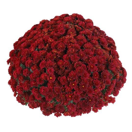 "Mum Vitamum Volley Red (9"" pot) $8.99"
