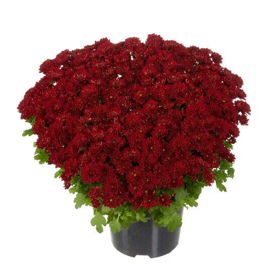 "Mum Vitamum Power Red (9"" pot) $8.99"
