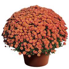 "Mum Gigi Coral (9"" pot) $8.99"