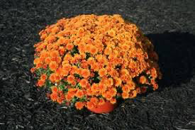 Mum Miranda Orange (9