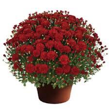 """Mum Hestia Hot Red (9"""" pot) $8.99"""