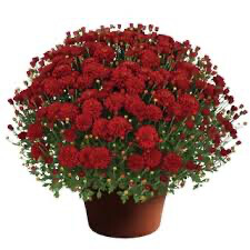 Mum Hestia Hot Red (9