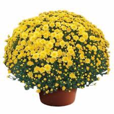 Mum Chelsey Yellow (9