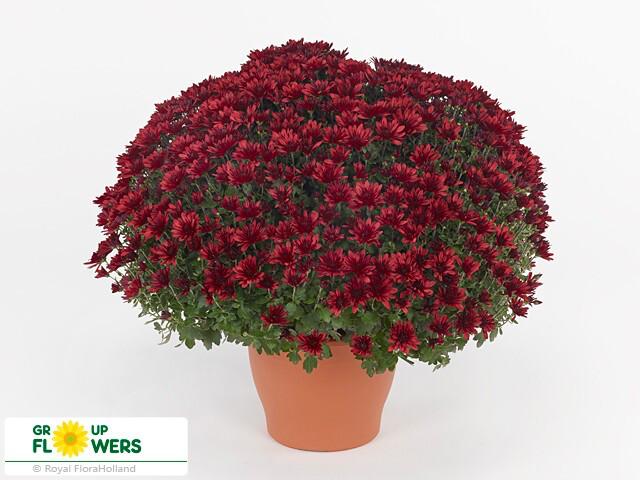 "Mum Belgian Aduro Red (9"" pot) $8.99"