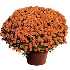 Mum Gigi Orange (9