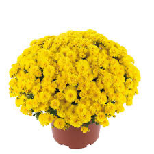 "Mum Gigi Yellow (9"" pot) $8.99"