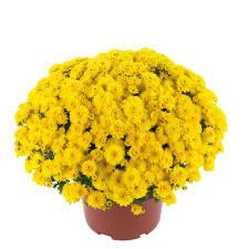 Mum Gigi Yellow (9