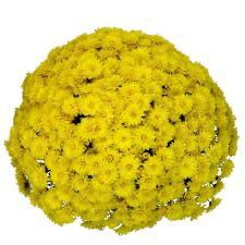 Mum Belgian Allegra Yellow (9