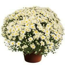 """Mum Edith White (9"""" pot) $8.99"""