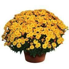 """Mum Cheryl Golden (9"""" pot) $8.99"""