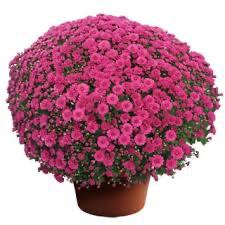 "Mum Danielle Purple (9"" pot) $8.99"