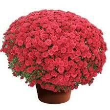 "Mum Danielle Red (9"" pot) $8.99"