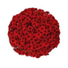 """Mum Belgian Amadora Red (9"""" pot) $8.99"""