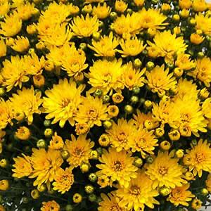 Mum Belgian Veritas Yellow (9
