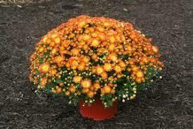 "Mum Dazzling Stacy Orange (9"" pot) $8.99"