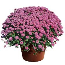 "Mum Gigi Dark Pink (9"" pot) $8.99"