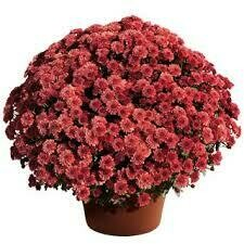 "Mum Cheryl Jolly Red (9"" pot) $8.99"