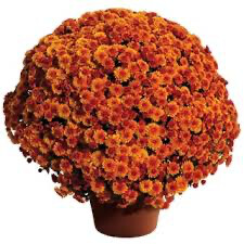 "Mum Cheryl Spicy Orange (9"" pot) $8.99"