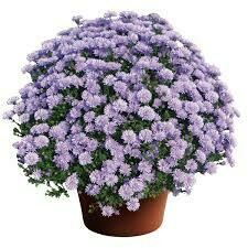 "Aster Peter III Blue (9"" pot) $9.99"