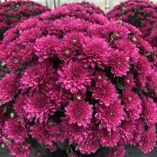 """Mum Wanda Purple (9"""" pot) $8.99"""