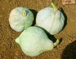 7049 Blue Magic (squash) $5.00