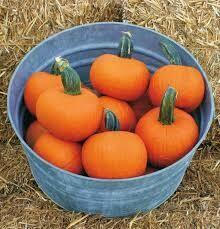 7055 Prankster (pumpkin) $2.50