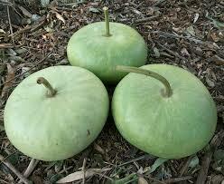 7161 Corsican (gourd) $5.99