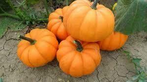 7167 Orangita (pumpkin) $2.49