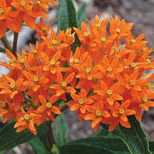 Asclepias Tuberosa Butterfly Weed (gallon perennial) $16.99