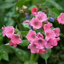 Pulmonaria Pretty in Pink Lungwort (gallon perennial) $15.99