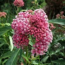 Asclepias CINDERELLA Milkweed (gallon perennial) $13.99