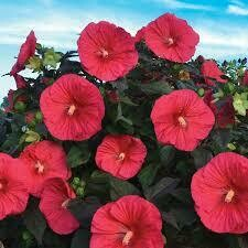 Hibiscus Mars Madness (2 gallon perennial) $26.99