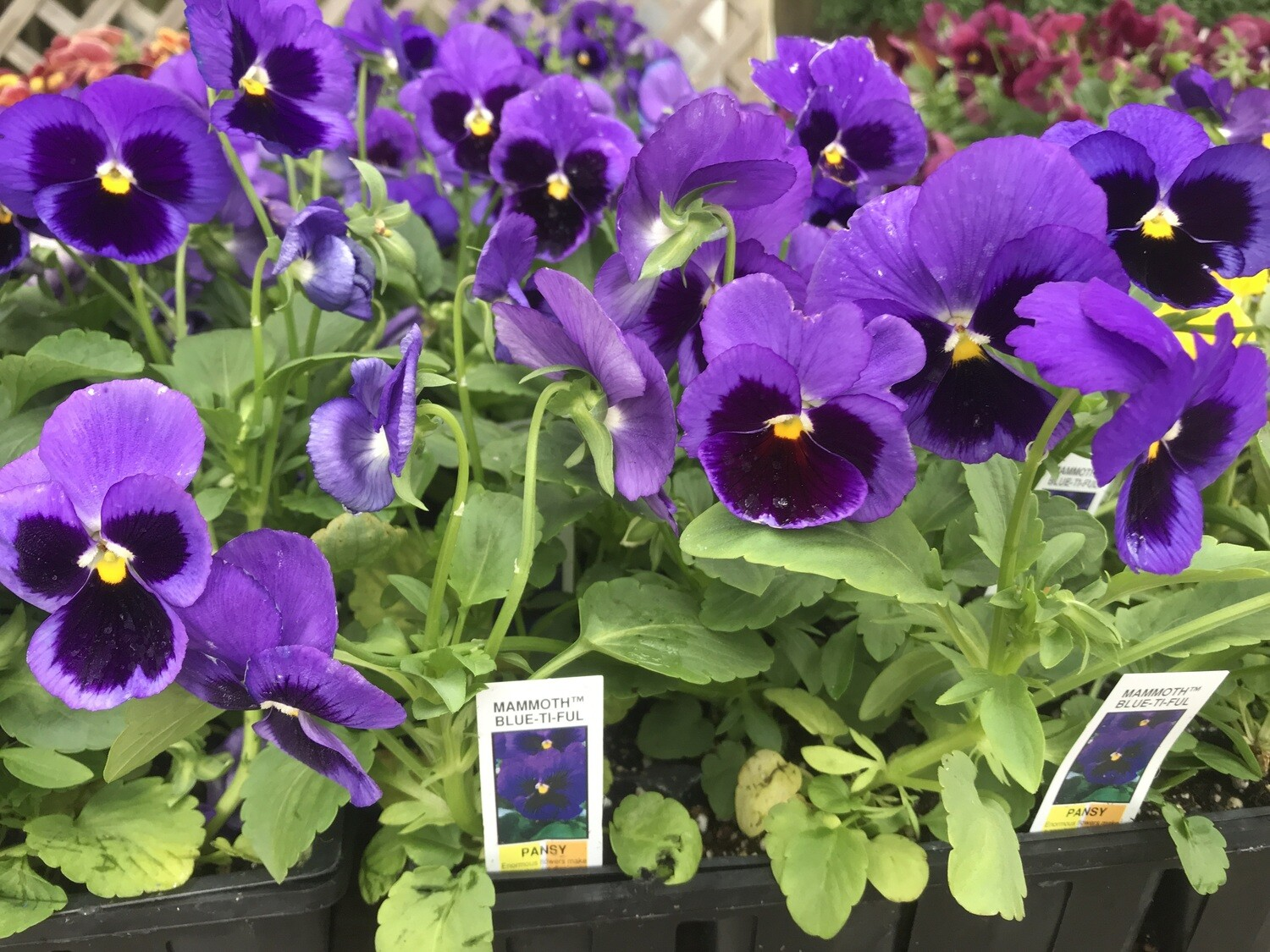 Pansy Blue Ti Ful (4 pack)
