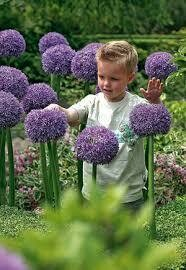 Allium Giant Gladiator (2 bulbs)