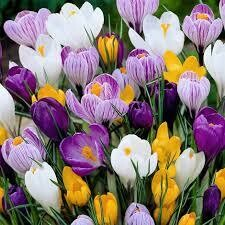 Crocus Large Flowering (15 bulbs)