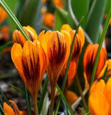 Crocus Orange Monarch (10 bulbs)