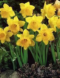 Daffodils Trumpet Dutch Master (50 bulbs)