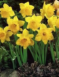 Daffodils Trumpet Dutch Master (50 bulbs)