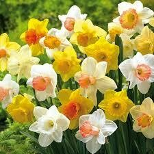 Daffodils Trumpet Mixture (8 bulbs)