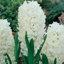 Hyacinths Carnegie (6 bulbs)