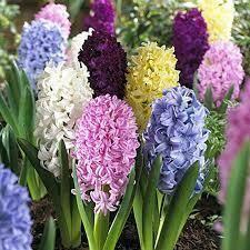 Hyacinths Easter Joy Mixture (6 bulbs)