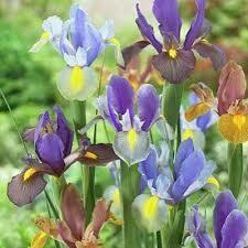 Iris Dutch Tiger Mixture (12 bulbs)